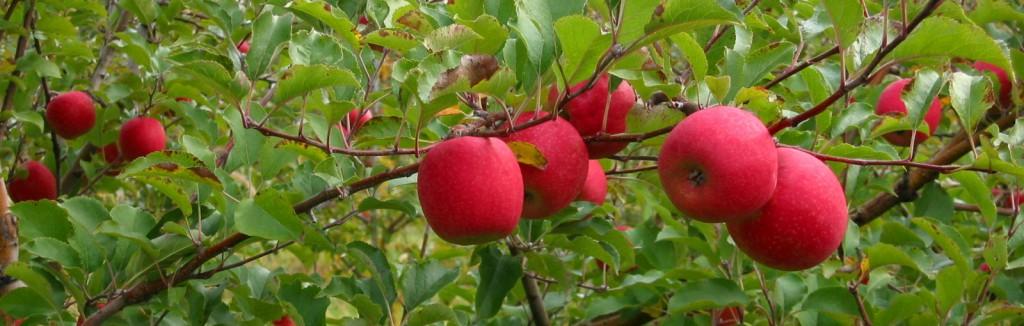 Ex-FBI investigator now in hot pursuit of Washington's abandoned apples